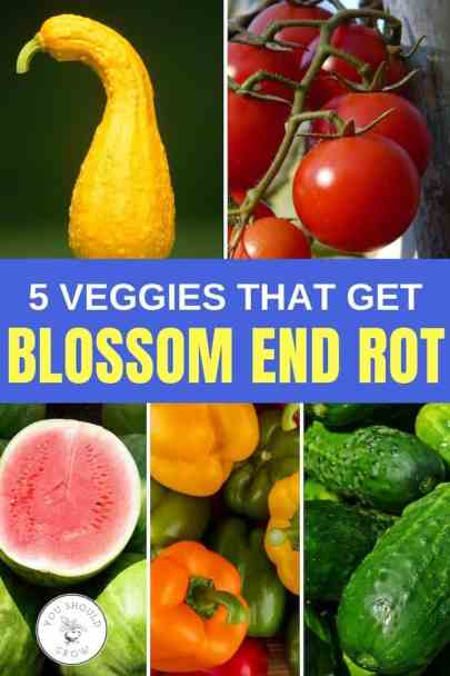 5 veggies that get blossom end rot - squash, tomatoes, watermelon, peppers, cucumbers