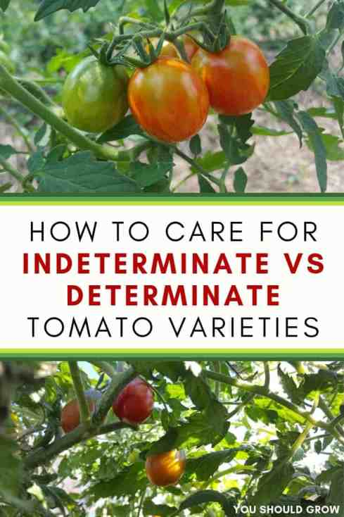How to care for indeterminate vs determinate tomato varieties. Text overlaying image of tomato plants with red ripening fruit.