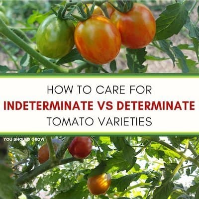 How To Care For Determinate vs Indeterminate Tomatoes