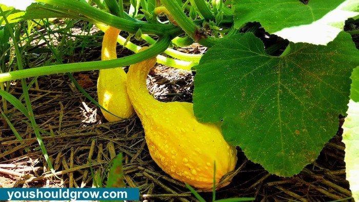 Crookneck squash on plant