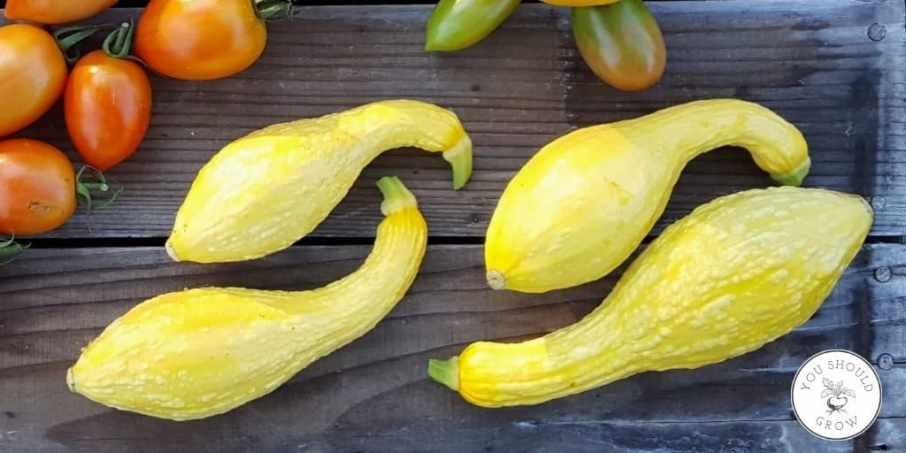 4 yellow crookneck squash with bumpy skin