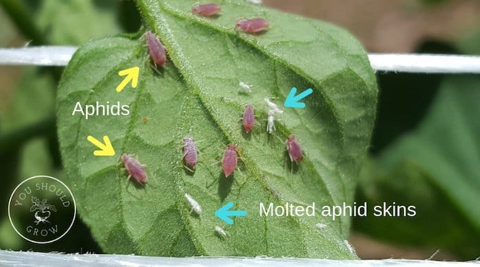 Arrows pointing to pink aphids and white aphid skins on a tomato leaf