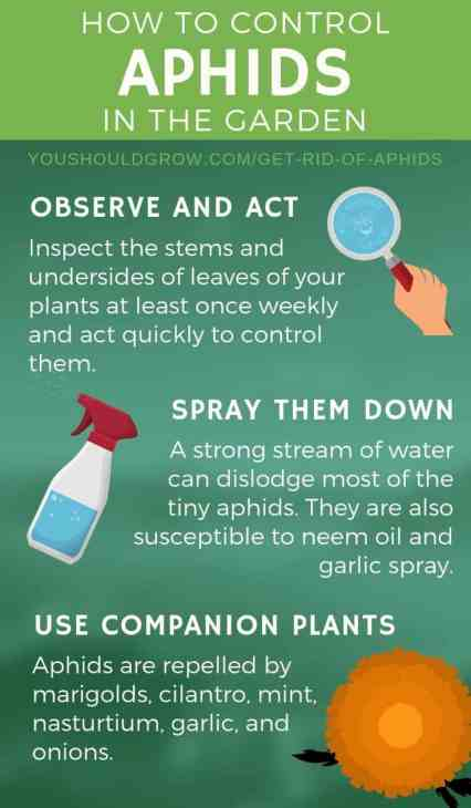 get rid of aphids infographic