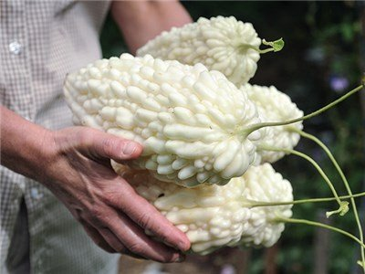 Pure white bitter melons with lumpy skin