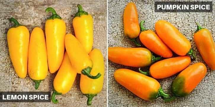 Lemon spice vs pumpkin spice jalapenos