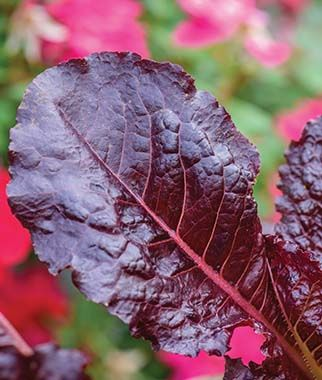 Burgundy delight lettuce - dark purple leaves with fuschia stems and veins