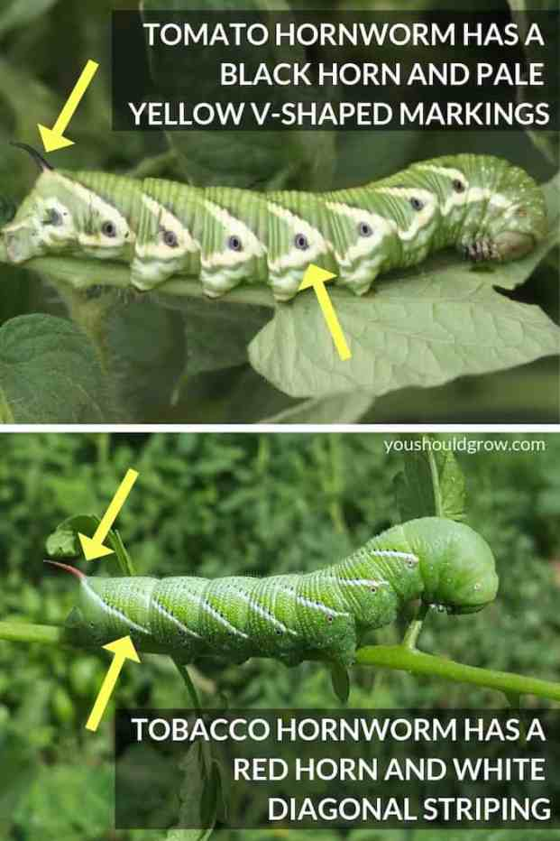 image of tomato hornworm pointing out black horn and v-shaped markings vs tomato hornworm with red horn and white striping
