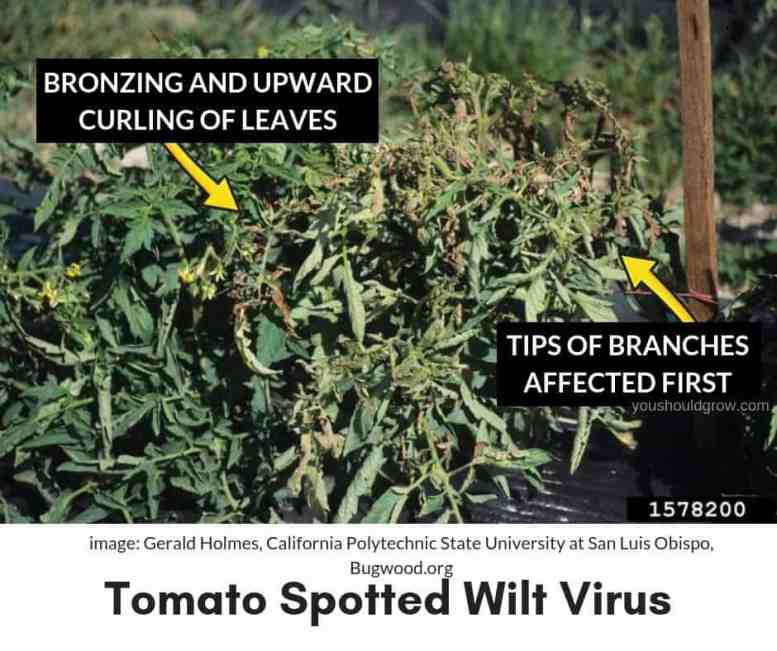 tomato spotted wilt virus symptoms in tomato plant
