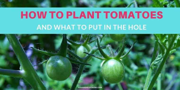 How to plant tomatoes and what goes in the hole text overlaying image of tomato plant with green fruit cluster
