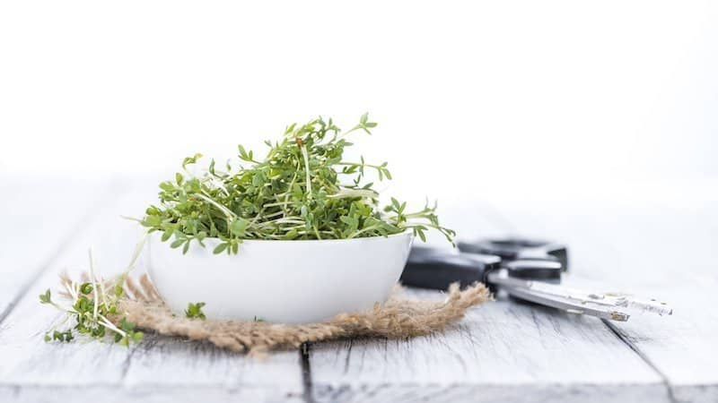 garden cress seeds microgreens in white bowl on wood table