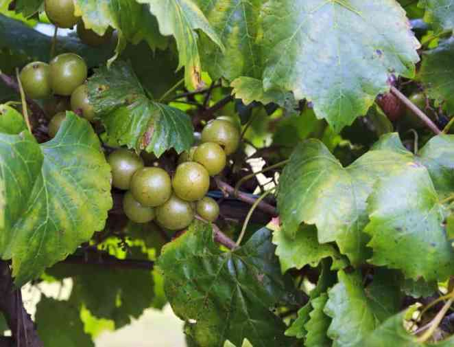 Muscadine Grapes Fruit Growing Naturally on the Vine in a Vineyard.