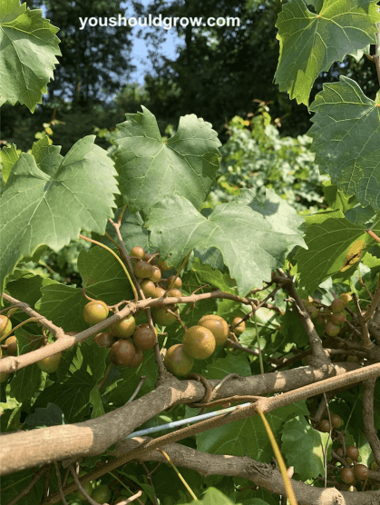 green muscadine grapes growing on a vine