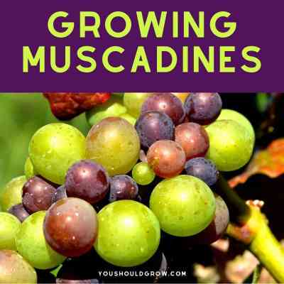 How to Grow Muscadine Vines At Home