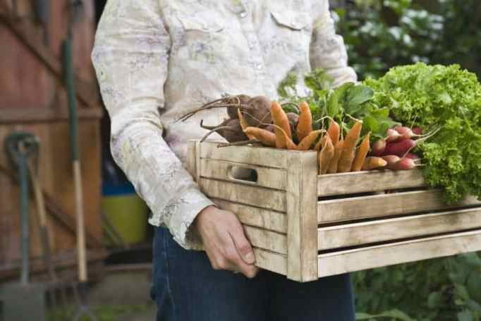 Man carrying crate of vegetables from fall garden harvest.