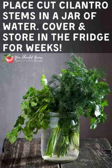 Storing fresh cilantro in the fridge. Pinterest pin