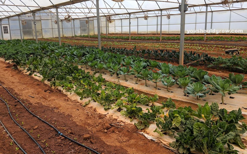 vegetables growing happily in clay soil
