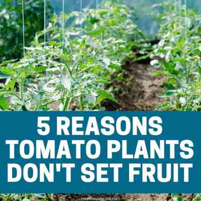 5 Reasons Your Tomato Plant Has No Tomatoes
