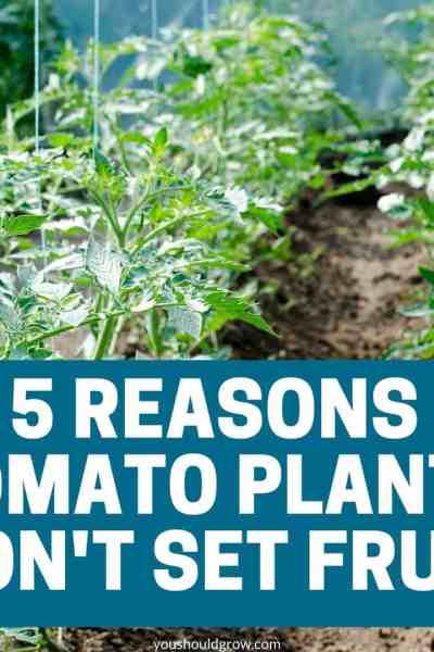 5 reasons tomato plants don't set fruit promotional image