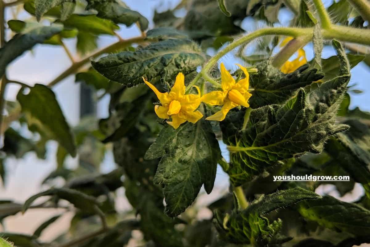 Closeup of open tomato blossom.