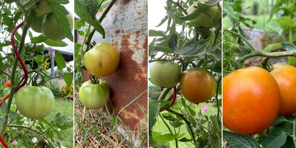 Stages of ripening tomatoes