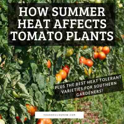 How The Summer Heat Affects Your Tomato Plants