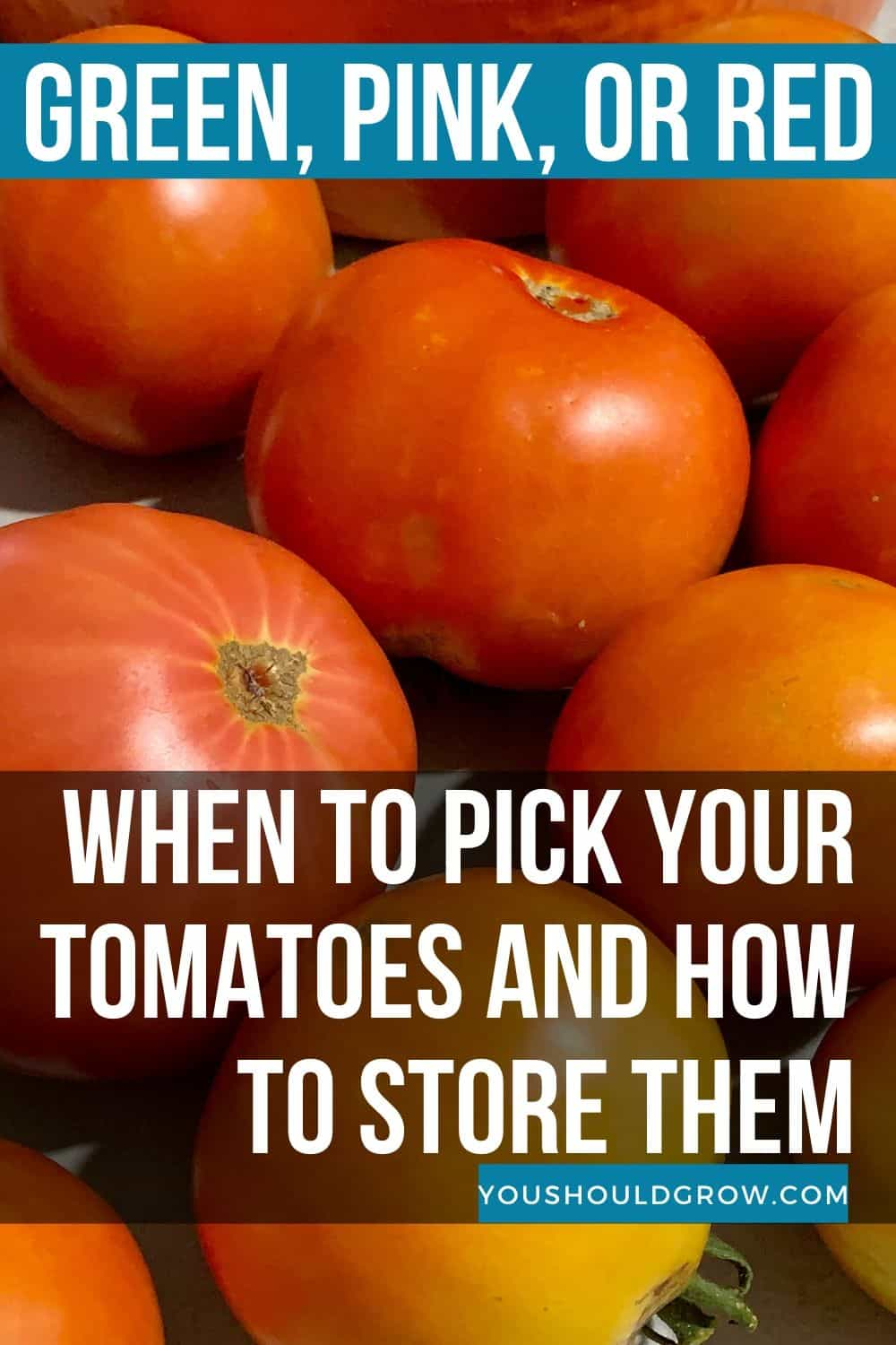 When should you pick your tomatoes? Learn about the stages of ripening and when it's the best time to pick homegrown tomatoes.