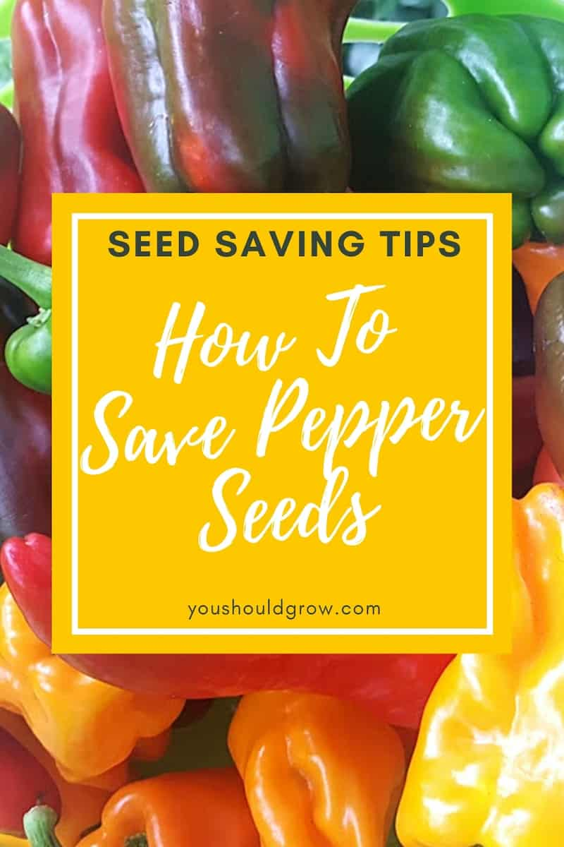 Build your own seed library by learning how to save pepper seeds. Here are the most important things to know about saving seeds from peppers. Seed saving tips from You Should Grow