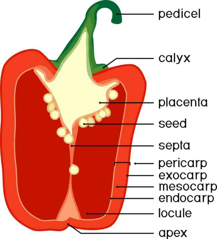pepper anatomy morphology