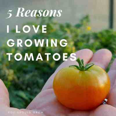 5 Reasons I Love Growing Tomatoes