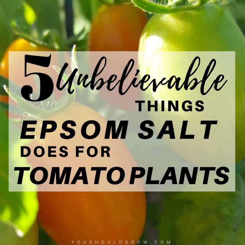 5 unbelievable things epsom salt does for tomato plants you should grow. Black Bedroom Furniture Sets. Home Design Ideas