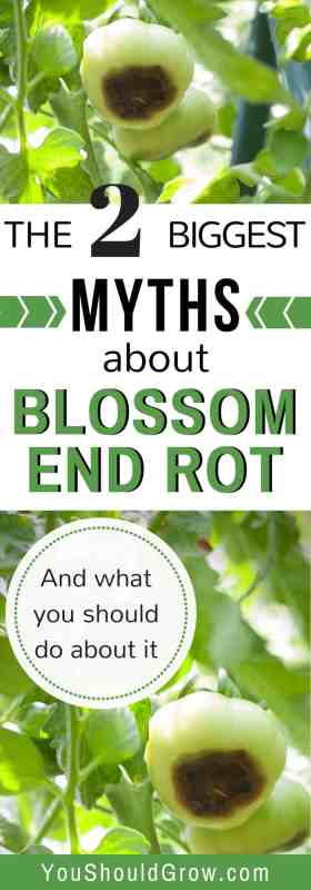 Most commonly seen in homegrown tomatoes, blossom end rot is a very disappointing condition that affects plant production. Find out how to deal with blossom end rot for gardening at home.