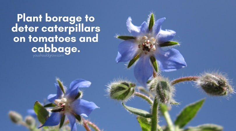borage flowers against sky (companion planting with vegetables)