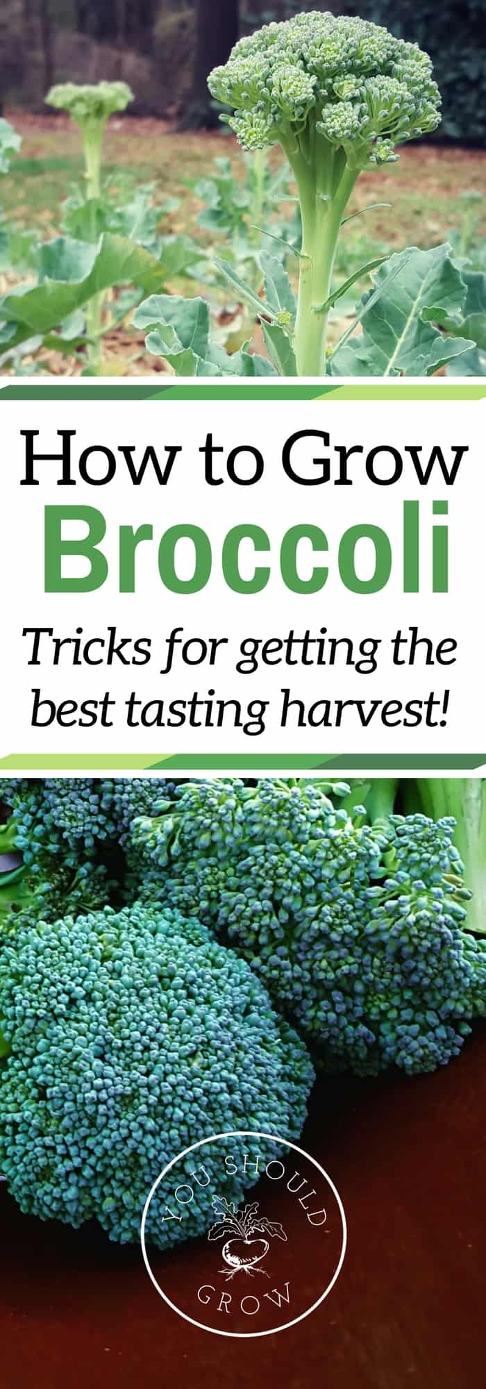 Image of homegrown broccoli with text overlay: How to grow broccoloi trics for getting the best tasting harvest
