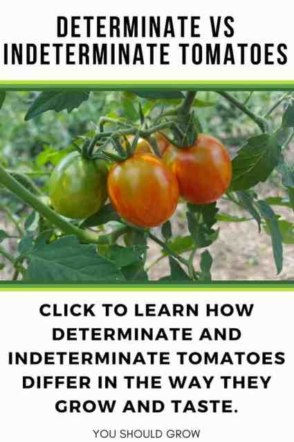 determinate vs indeterminate tomatoes text and image of tomatoes on vine