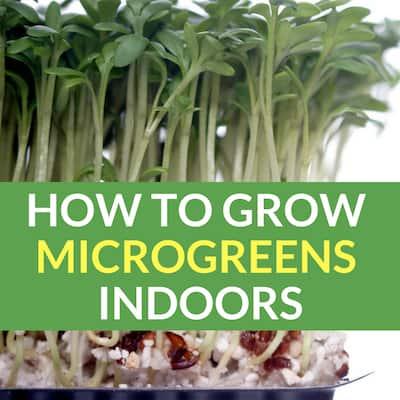 Growing Microgreens Indoors: Superfood In 2 Weeks Or Less