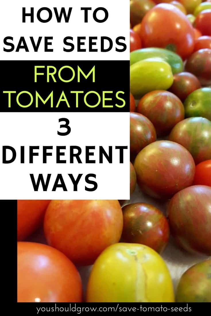 Growing tomatoes is one of the summer's greatest pleasures. If you love your homegrown tomatoes, then it's natural you'll want to save seed from your favorite plants. Learn the three different ways you can save tomato seeds from your garden, why heirloom tomatoes are the best choice, and what happens if you save seed from hybrid tomatoes.