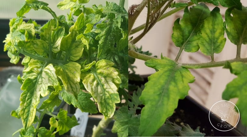 Yellow tomato leaves with green veins (indicates nutrient deficiency).