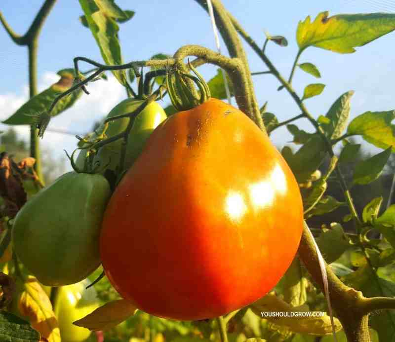 Tomatoes you should grow: Riviera Cuore di Bue