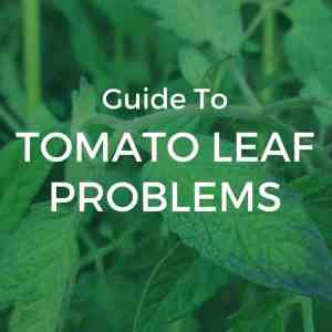 What's Wrong With My Tomato Plant? A Guide To Tomato Leaf Problems