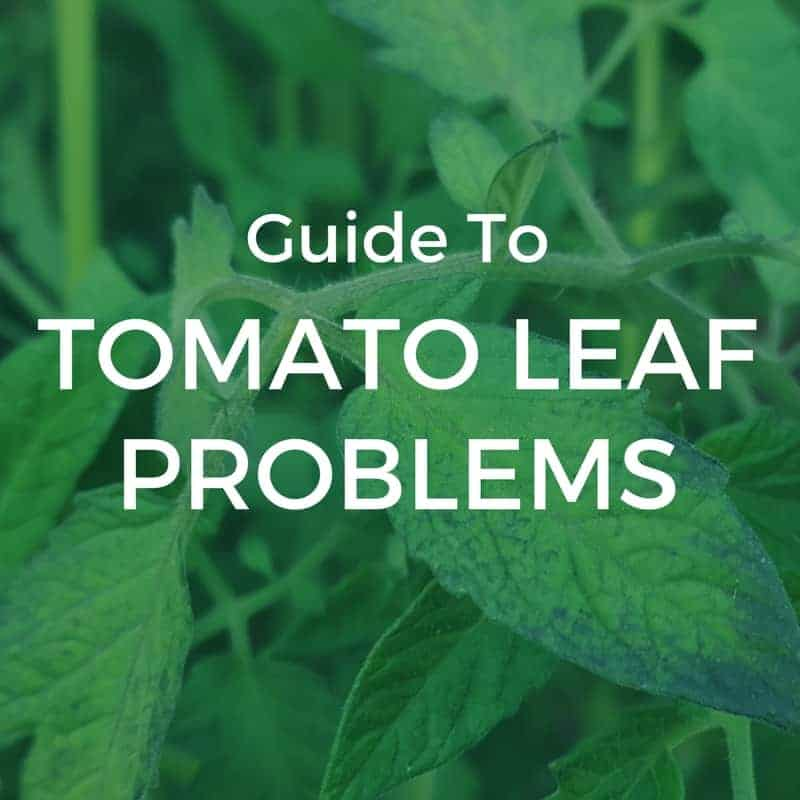 Guide to tomato leaf problems