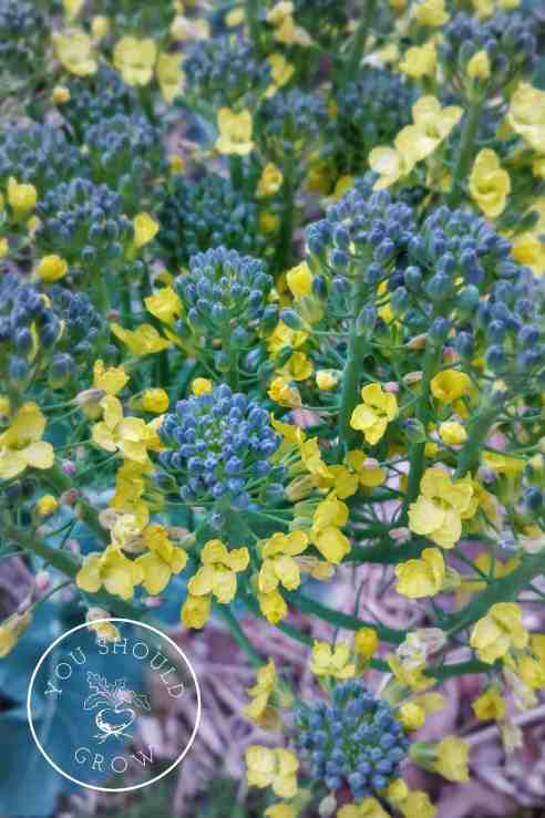 Tips for growing broccoli. Image: The delicate yellow flowers on broccolini. Youshouldgrow.com