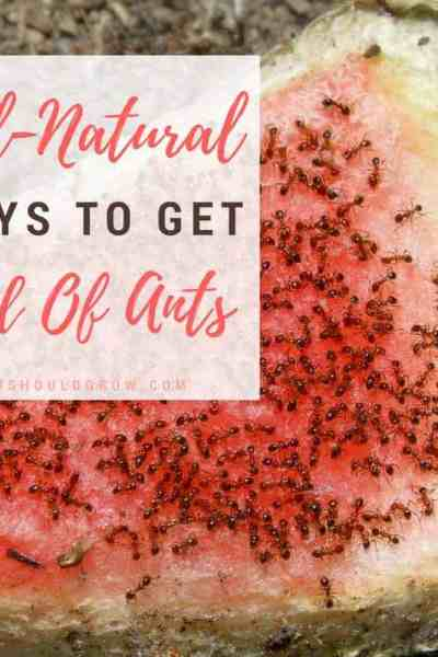 Over 50 all natural ideas to get rid of ants in the house, in the garden, and around the homestead.