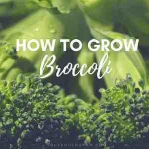 Growing Broccoli: Tricks To Grow Big Broccoli Heads