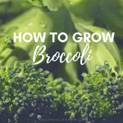 Growing Broccoli: Tricks To Grow Big Broccoli Heads