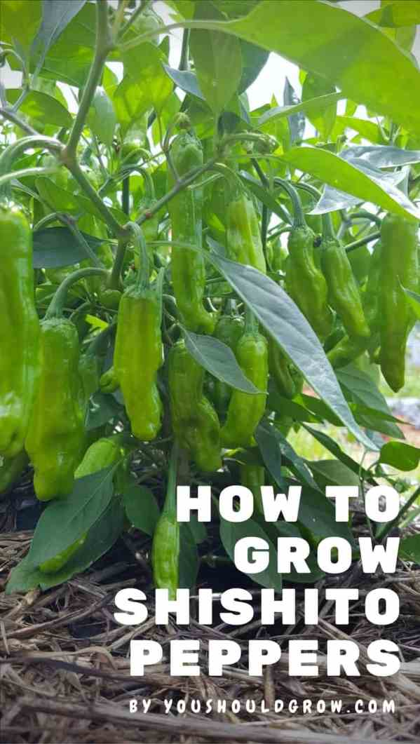 Shishito pepper plants are compact and super productive.