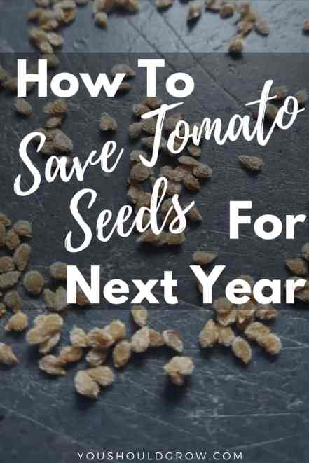 How to save tomato seeds for next year text overlaying image of tomato seeds on a grey background