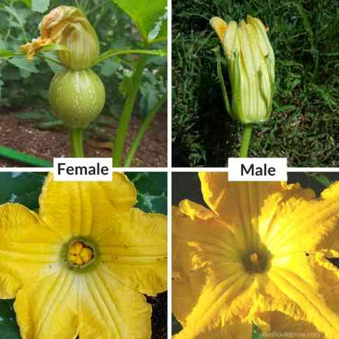 how to identify male and female flowers on squash plant