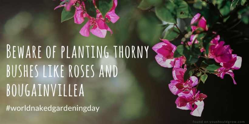 On naked gardening day beware of planting thorny bushes like roses and bougainvillea
