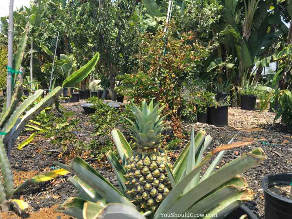 Growing a pineapple plant at home.