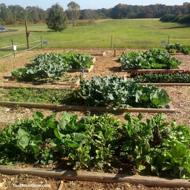 Raised beds filed with green veggies.